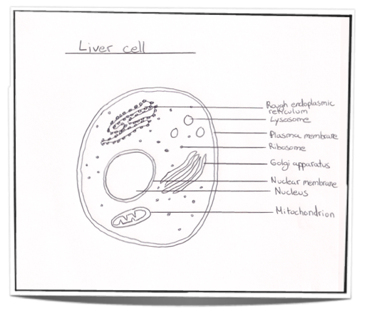 Ib biology notes 23 eukaryotic cells 231 draw and label a diagram of the ultrastructure of a liver cell as an example of an animal cell ccuart Image collections