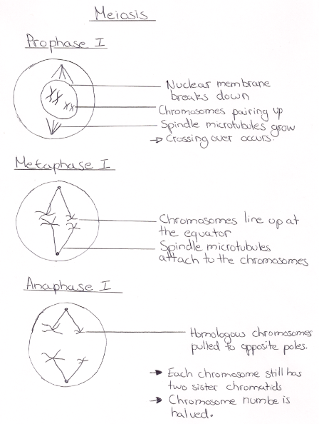 Ib Biology Notes 42 Meiosis