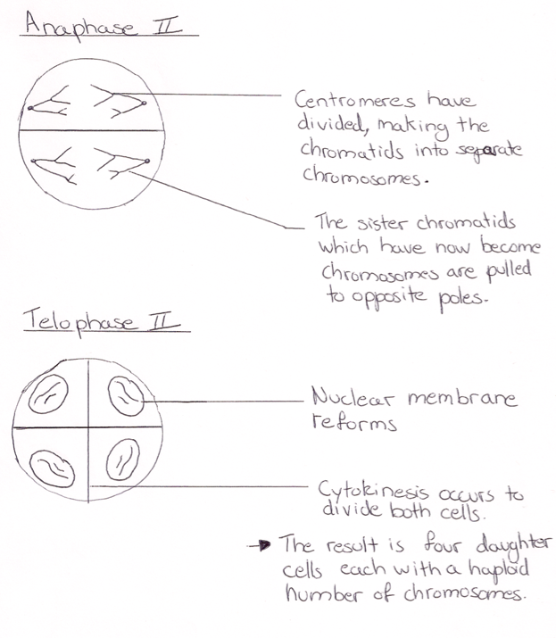 Ib biology notes 42 meiosis ccuart Choice Image