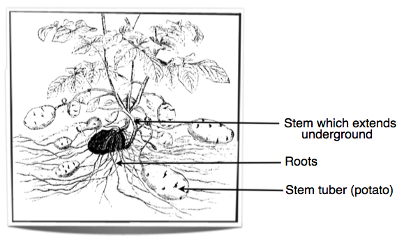 IB Biology Notes - 9.1 Plant structure and growth
