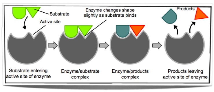 induced enzymes biology figure enzyme