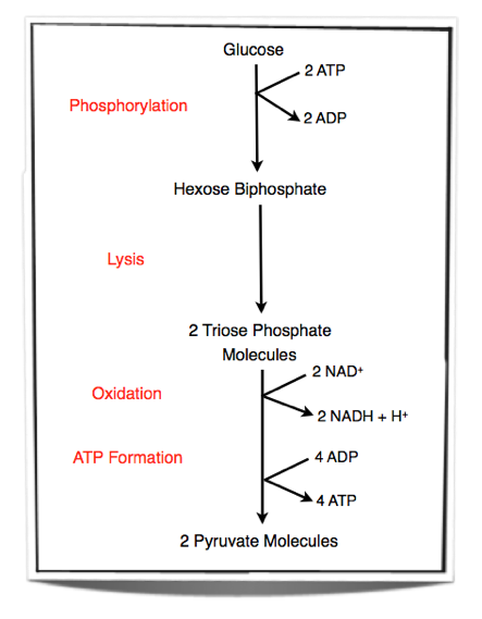Ib biology notes 81 cell respiration therefore there is a net yield of two atp molecules also two nad are converted into nadh h during glycolysis ccuart Choice Image