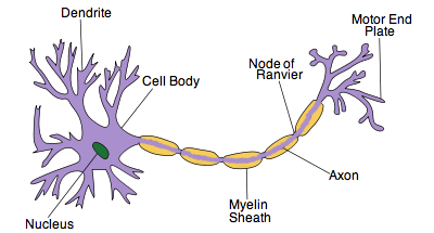 Ib biology notes 65 nerves hormones and homeostasis 652 draw and label a diagram of the structure of a motor neuron ccuart Images